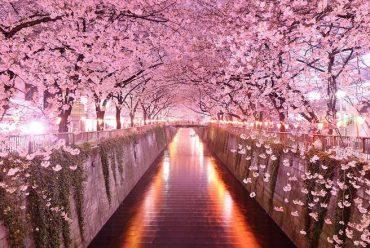 Hoa anh đào – biểu tượng Nhật Bản